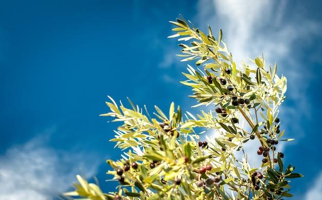 Branche d'olivier contre le ciel bleu par une journée ensoleillée. mise au point sélective, espace de copie
