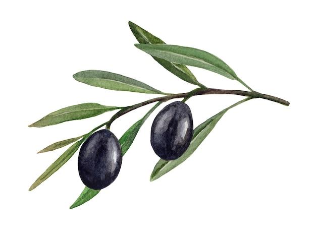 Branche d'olivier avec illustration aquarelle d'olives noires isolé