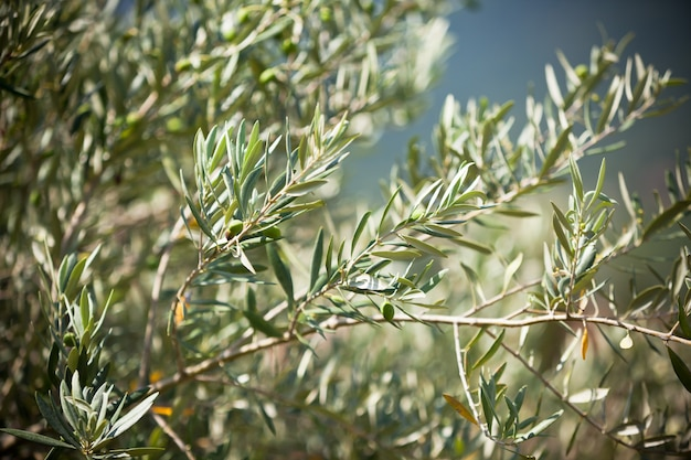 Branche d'olivier. image filtrée horizontale