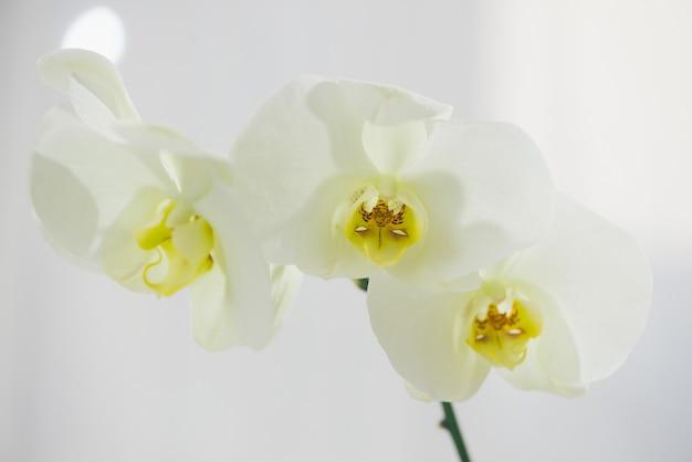Branche d'orchidée blanche dans un vase sur table.