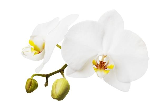 Branche d'une orchidée blanche en fleurs ayant une couleur jaune sur la lèvre fleurs isolées