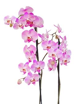 Branche d'orchidée fraîche rose avec des fleurs et des bourgeons isolés sur fond blanc