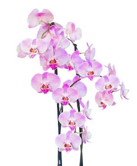 Branche d'orchidée fraîche rose avec des fleurs isolé sur fond blanc