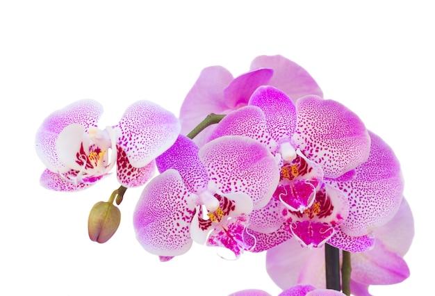 Branche d'orchidée rose bouchent isolé sur fond blanc