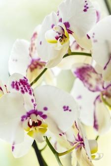 Branche d'orchidée rose en fleurs bouchent
