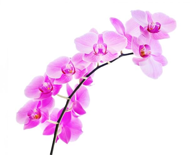 Branche d'orchidée rose isolée