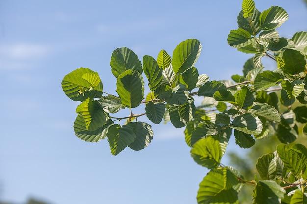 Branche d'orme gros plan