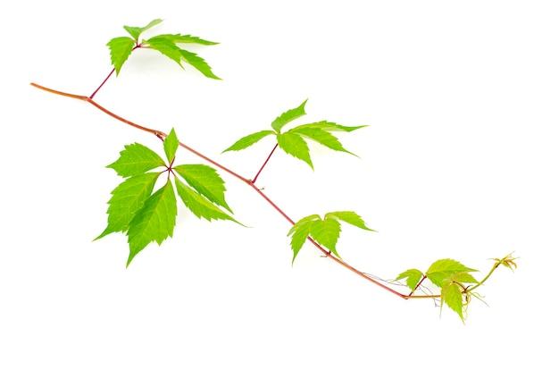 Branche de parthenocissus avec des feuilles vertes isolées sur fond blanc.