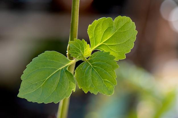 Branche de patchouli et feuilles vertes sur nature floue