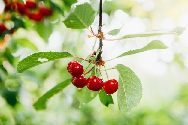 Une branche de petites cerises rouges avec des gouttes de pluie