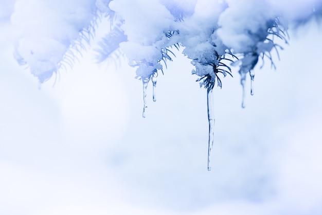 Sur une branche de pin enneigée se trouvent des glaçons. fond d'hiver bleu glace