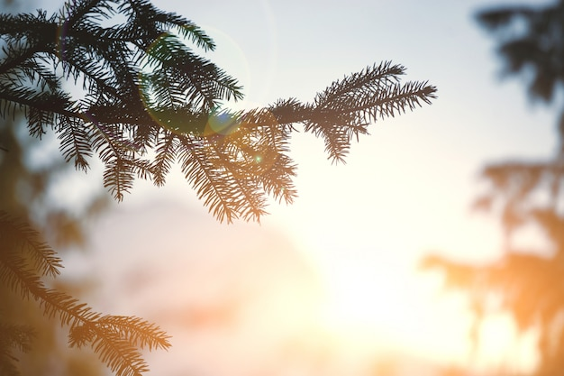 Branche de pin et fond de soleil couchant