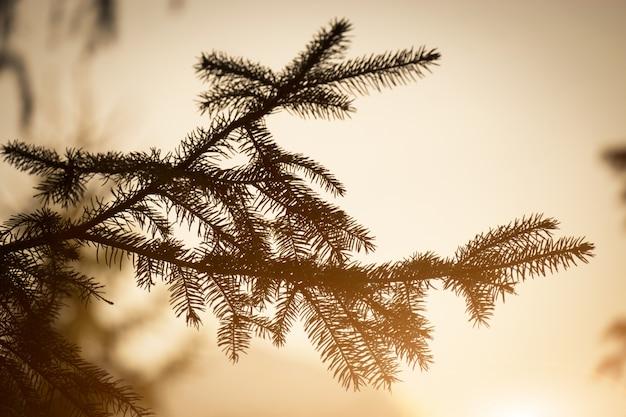 Branche de pin et soleil couchant.