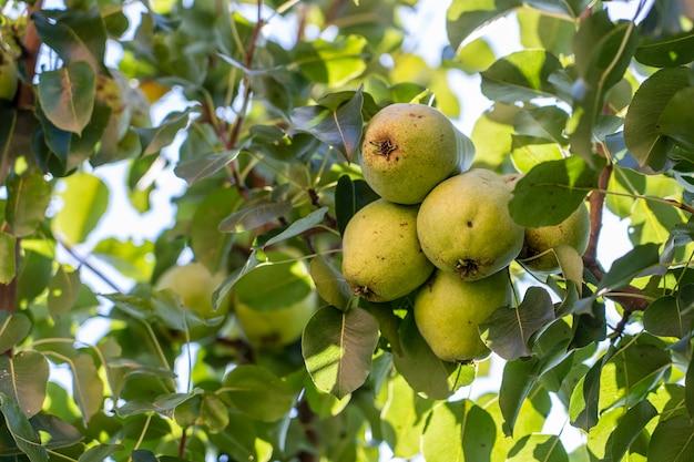 Branche de poire mûre sur arbre dans le jardin. poire douce verte sur l'arbre dans le jardin fruitier. fermer