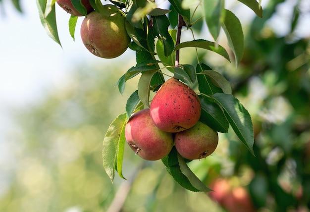Branche de poire mûre dans le jardin.