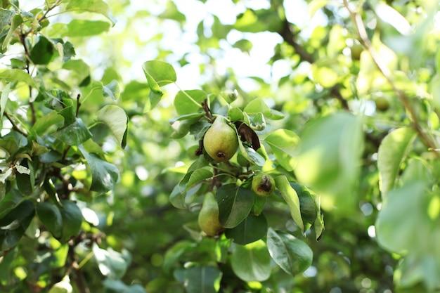Branche de poires mûres dans le jardin