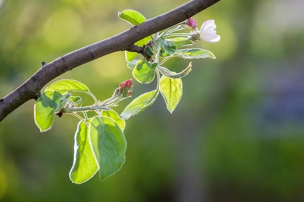 Branche de pomme en fleurs. fleur blanche, boutons roses et petites feuilles vert vif sur fond de copie espace bokeh.