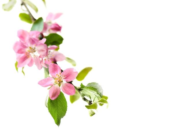 Branche de pomme rose en fleurs. élément de printemps de la bannière, bordure avec espace de copie.