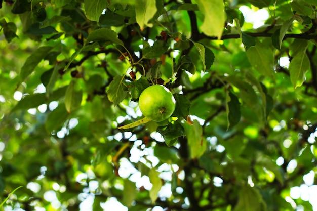 Branche de pommes vertes mûres dans le jardin