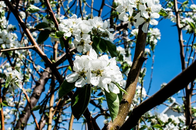 Branche pommier fleur de pommier