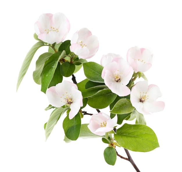 Branche de pommier avec des fleurs, sur blanc