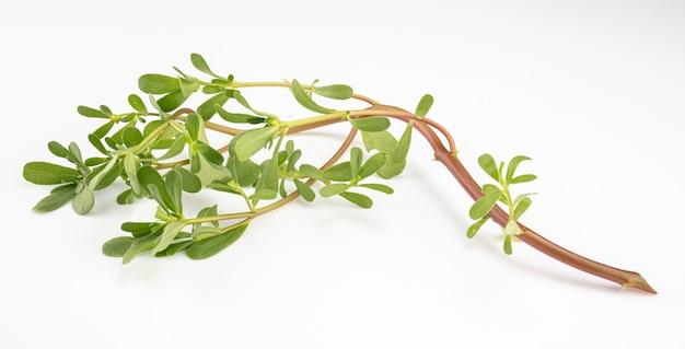 Branche de pourpier vert sur salle blanche