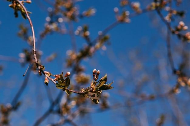Branche de printemps, jeunes feuilles et reins