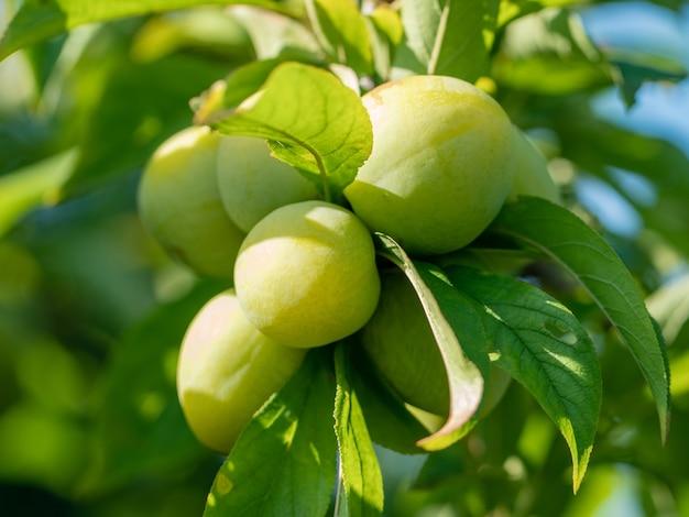 Branche avec des prunes vertes dans un jardin, fruits, nature