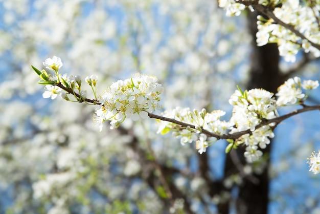 Branche de prunier en fleurs