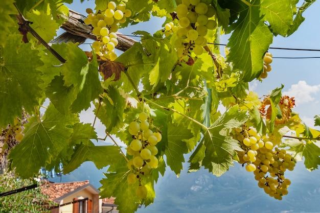 Branche de raisin mûr dans le jardin