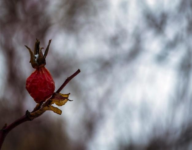 Branche de rose musquée hiver berry gros plan d'églantier