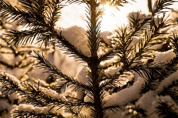 Une branche de sapin à l'arrière-plan d'une forêt enneigée, l'hiver