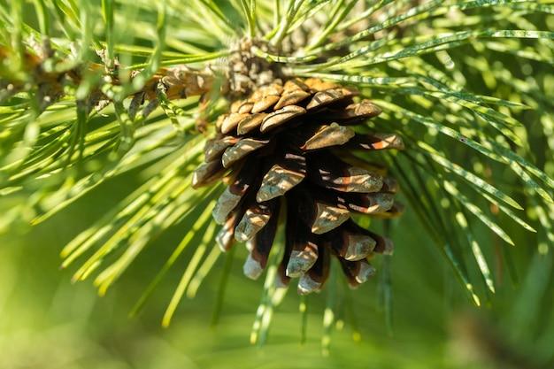 Branche de sapin avec un nouveau cône