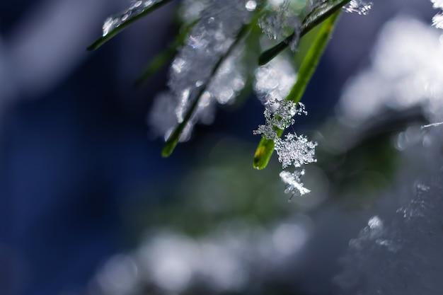 Branche de sapin avec un petit morceau de glace congelé.