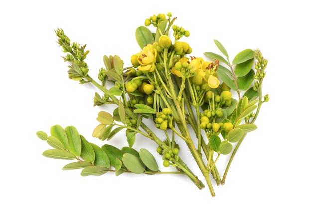 Branche de séné siamois feuilles vertes et fleurs isolées sur blanc.
