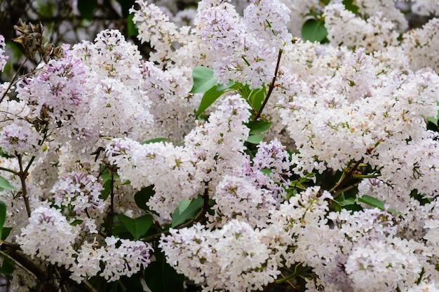Une branche de sirènes sur un arbre dans un jardin, parc. belles fleurs fleuries de lilas au printemps. floraison au printemps. notion de printemps. avenue de la couronne. quai de la volga à oulianovsk, russie.