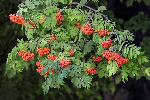 La branche de sorbier aux fruits rouges