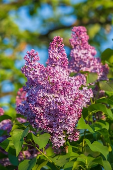 Branche verte avec de belles fleurs lilas printanières, gros plan