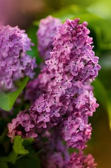 Branche verte avec des fleurs de printemps lilas