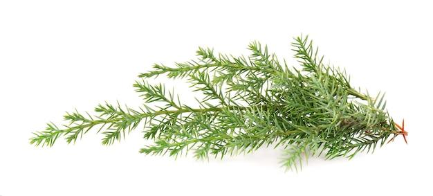 Branche verte de genévrier