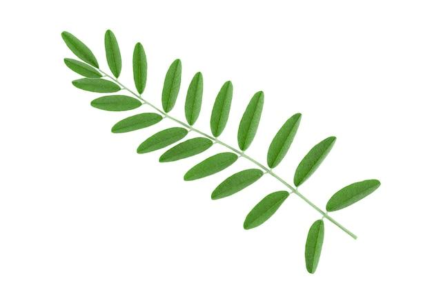 Branche verte avec de grandes feuilles isoler