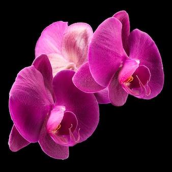 Branche de violet phalaenopsis ou orchidée papillon de la famille des orchidacées isolé