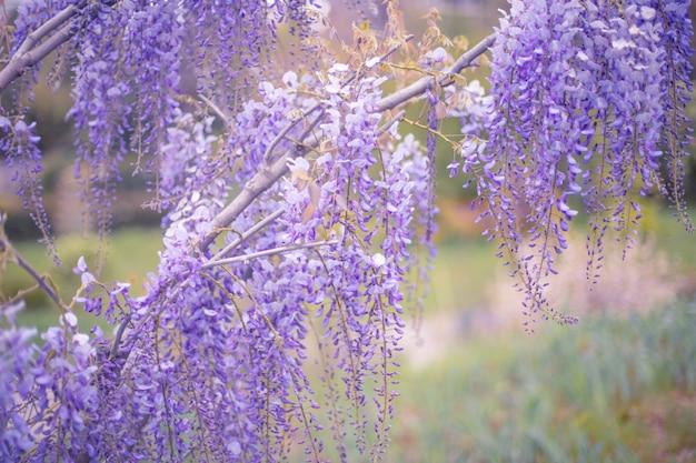 Branche de wistaria en fleurs dans un jardin de printemps.
