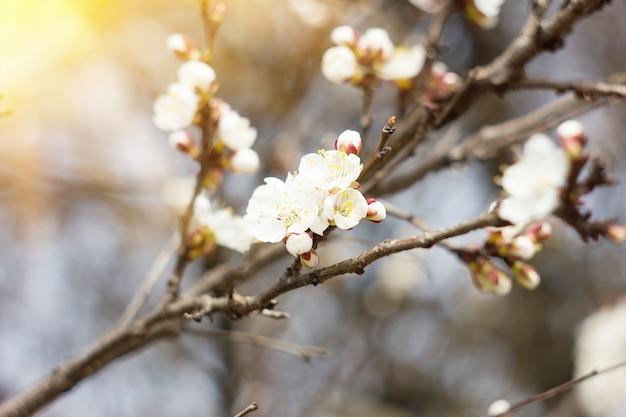 Branches d'abricots à fleurs blanches avec un rayon de soleil