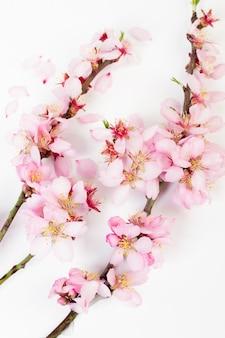 Branches d'amandiers en fleurs sur fond blanc
