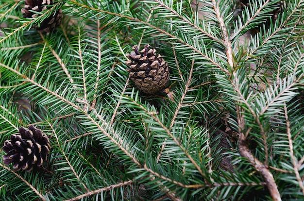 Branches d'un arbre à feuilles persistantes avec fond de cônes