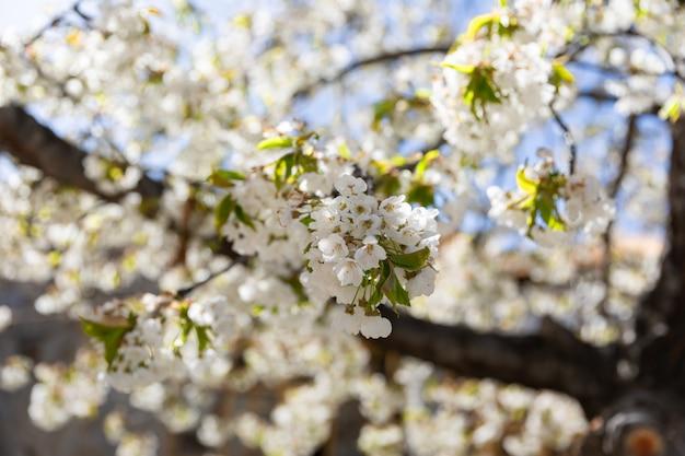 Les branches d'un arbre en fleurs