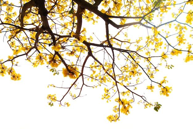 Les branches de l'arbre qui fleurissent en plein or.