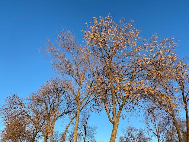 Branches d'arbres aux feuilles séchées contre le ciel bleu par temps clair. orientation horizontale