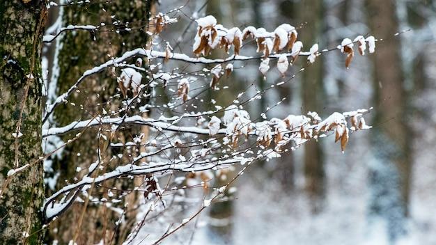Branches d'arbres couvertes de neige avec des feuilles sèches dans la forêt